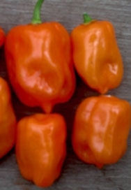 Reinsaat Bio Chili-Saatgut HABANERO ORANGE S 10